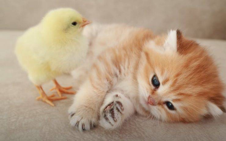 gattino pulcino amici