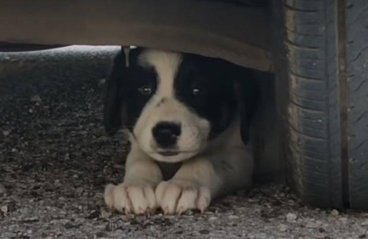 cagnolino rincorso auto salvato