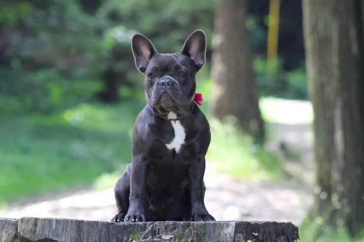 Bulldog francese adulto