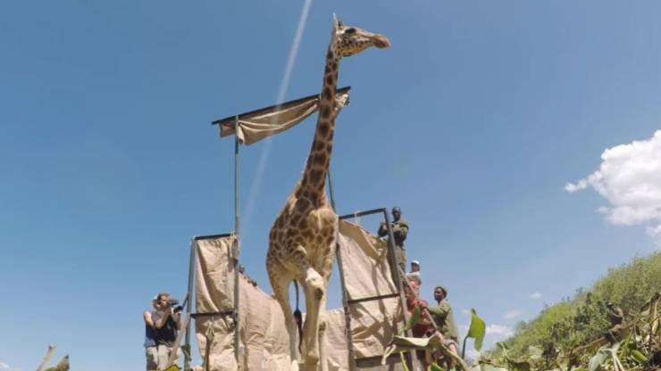 Giraffa Kenya Innalzamento Acque