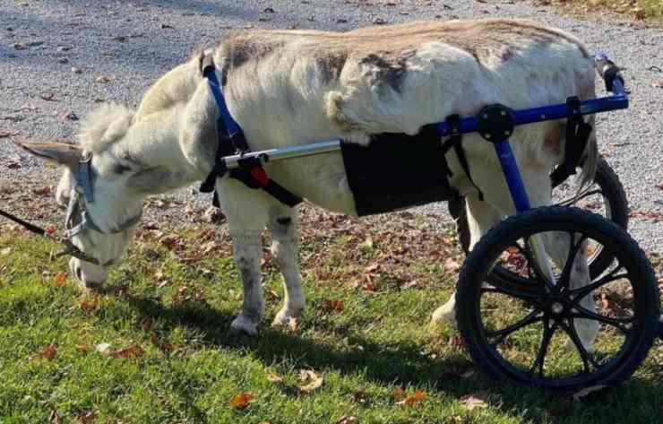 asino sovrappeso sedia a rotelle