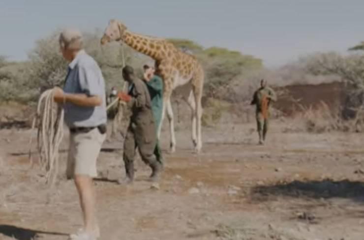 Salvataggio Giraffa Innalzamento Acque