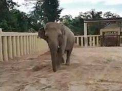 L'elefante Kaavan in cammino (Foto video)