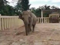 L'elefante Kaavan in cammino (Foto video)