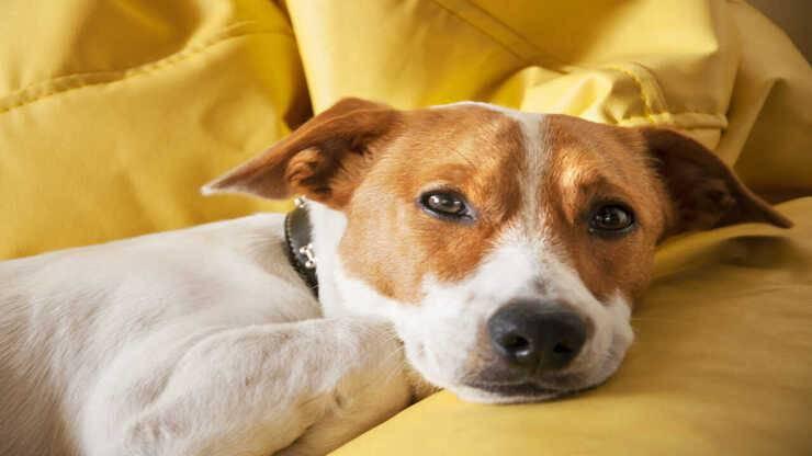 aspergillosi cane