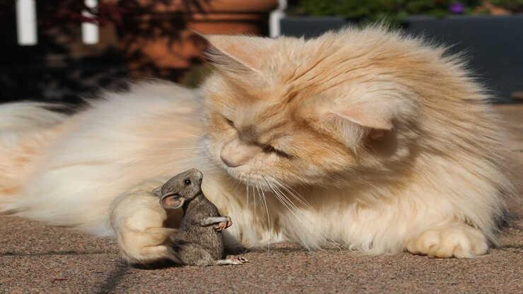 convivenza gatti roditori