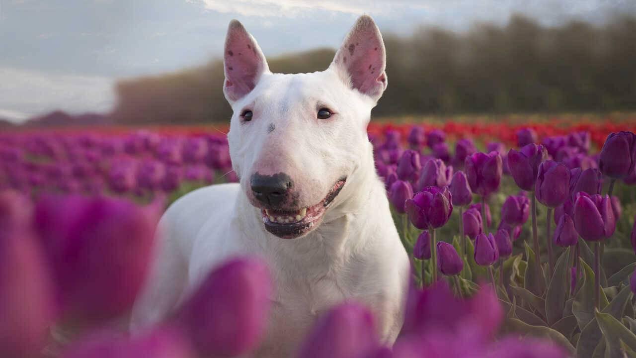 razze cani inglesi