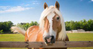 Diabete nel cavallo