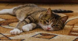 encefalopatia epatica gatto