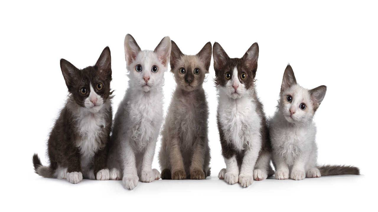 razze gatti pelo riccio