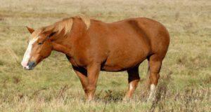 Sindrome metabolica nel cavallo
