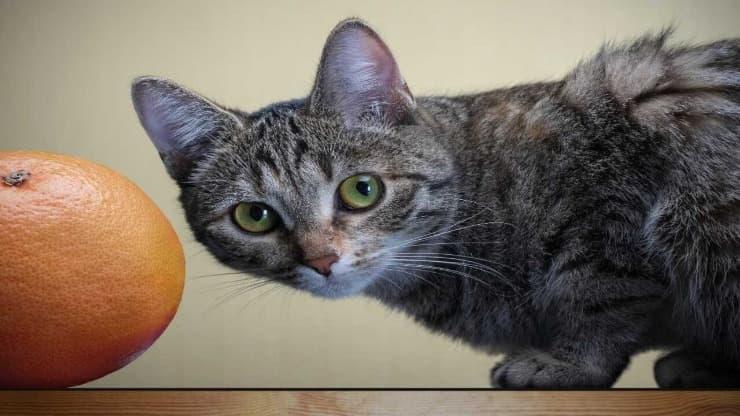 Il gatto può mangiare il pompelmo?
