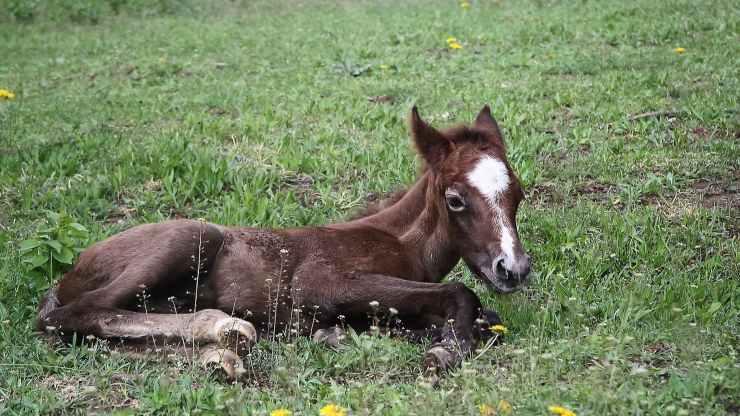Il cavallo si sdraia per dormire