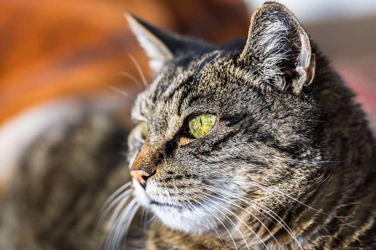 Sguardo del felino
