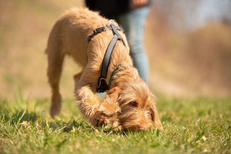 avvelenamento da anticoagulante nel cane