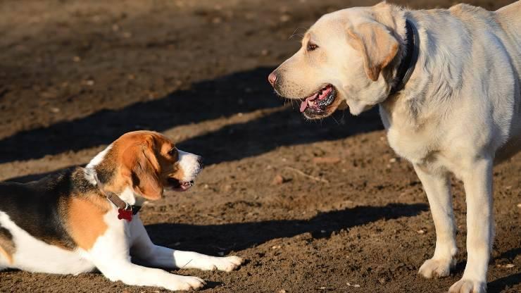 beagle e labrador