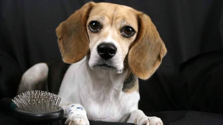 beagle e spazzola