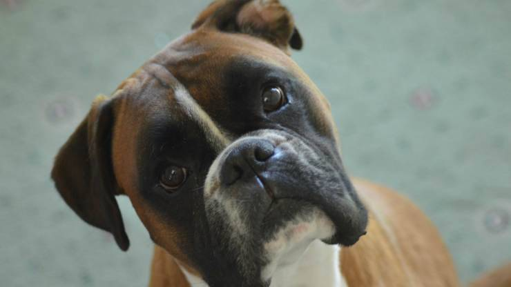 Sguardo del cane boxer (Foto Pixabay)