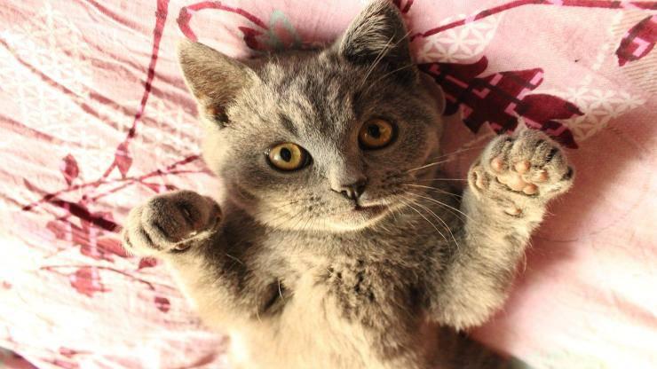 Razze di gatti con le zampe corte