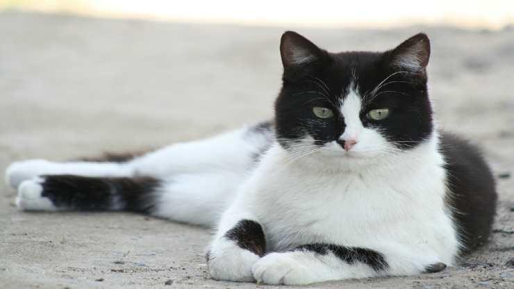 Gatto in posa (Foto Pixabay)