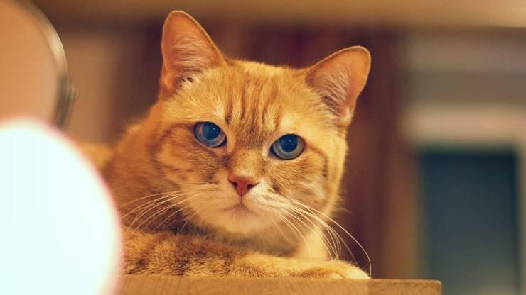 razze di gatti facili da addestrare