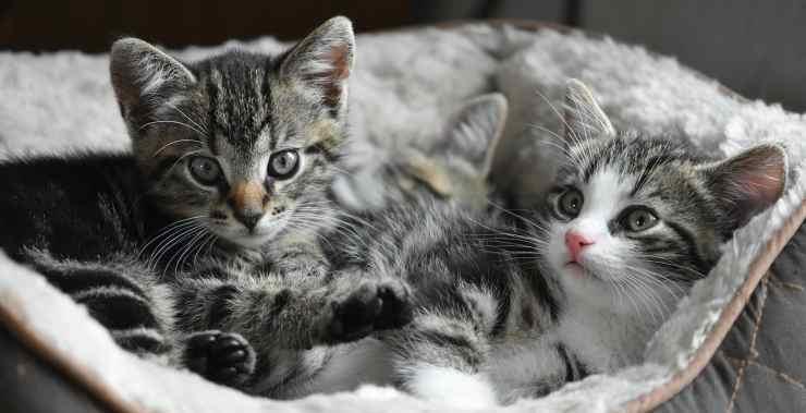 Gattini che fanno tenerezza (Foto pixabay)