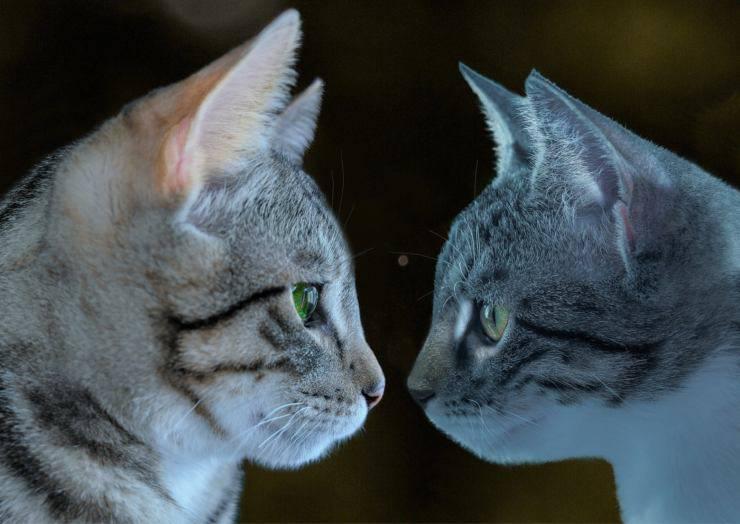 Come si salutano i gatti tra loro