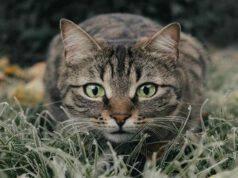 Gatto curioso (Foto Pixabay)
