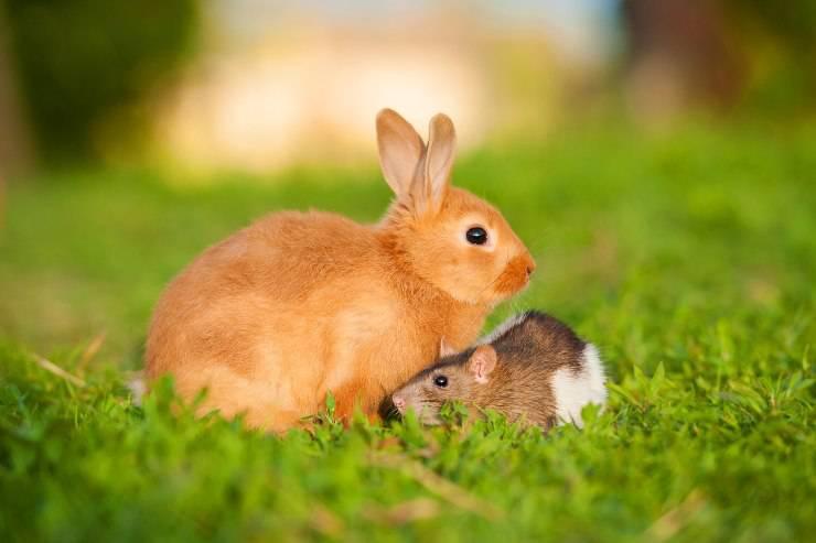 coniglio e topo