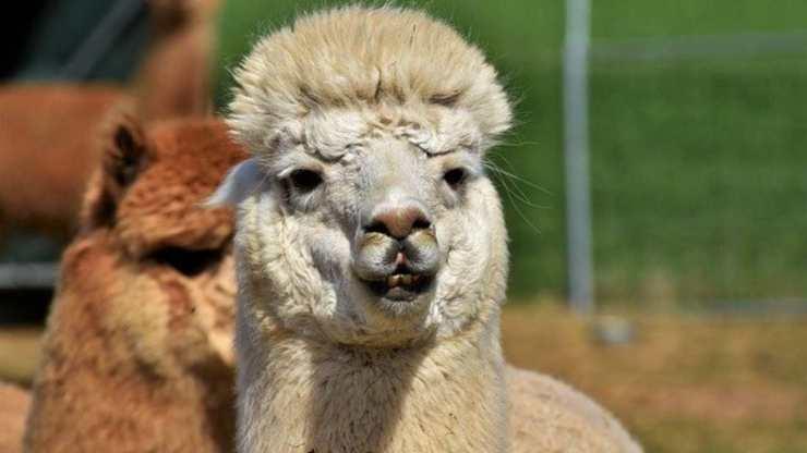 curiosità alpaca