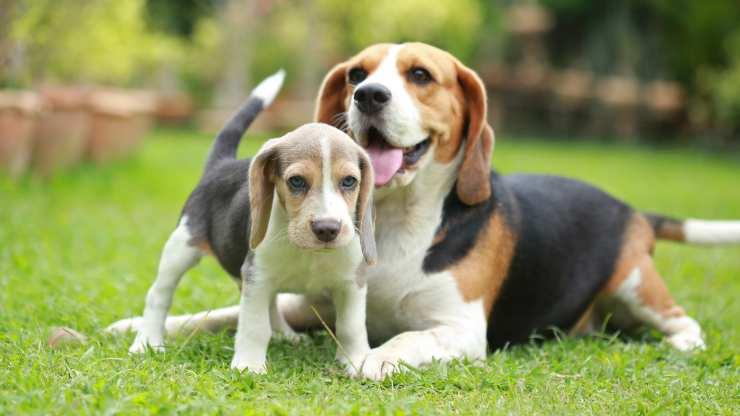 curiosità sul beagle