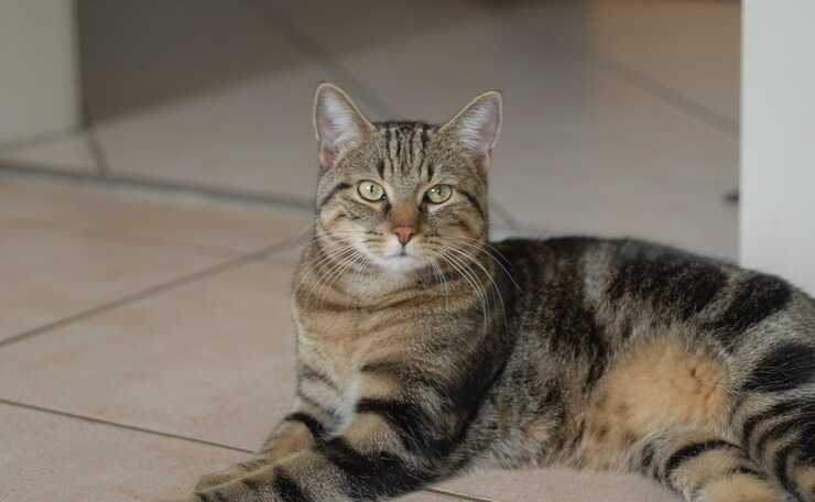 razze gatti meticci incroci