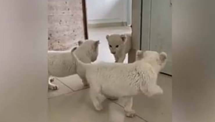 Leoncini che giocano (Foto video)
