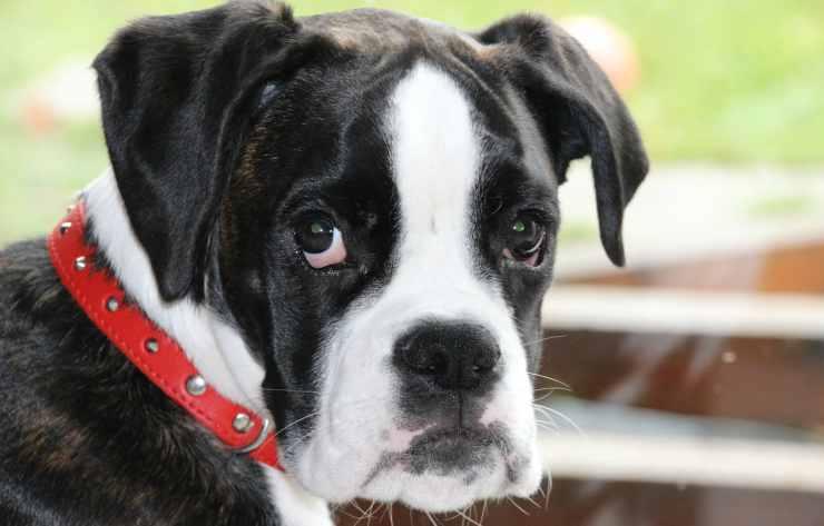 Lo sguardo di un cucciolo (Foto Pixabay)