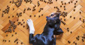 Il cane mangia il cibo del gatto