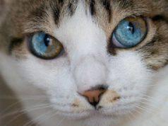 Gatti con occhi bicolore