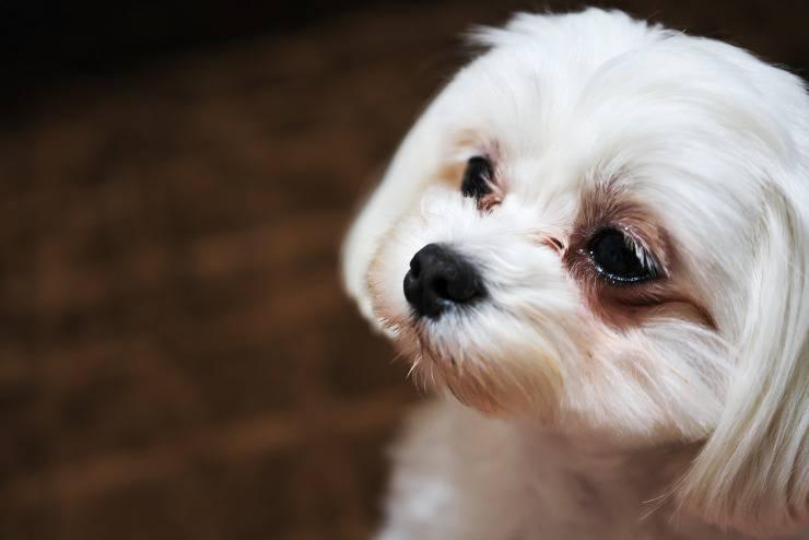 macchie sotto gli occhi del cane