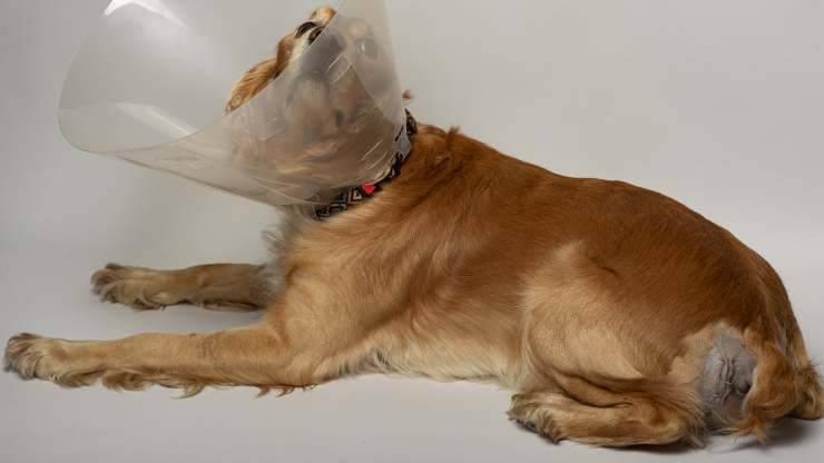 ernia perineale nel cane