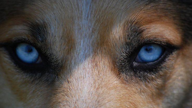 occhi cane vista vedere miopia ipermetropia