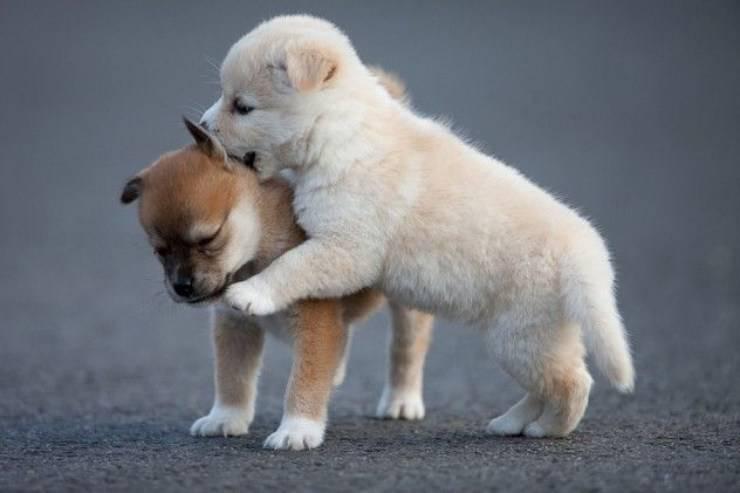 cuccioli cani giocano montano cane monta altri cani