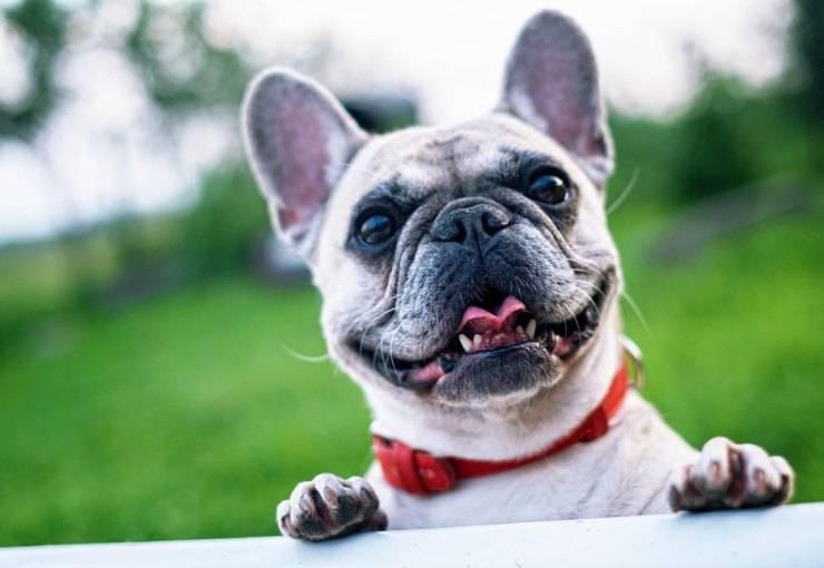 Bulldog Francese bouledogue curare pelo lavare toelettatura bagno