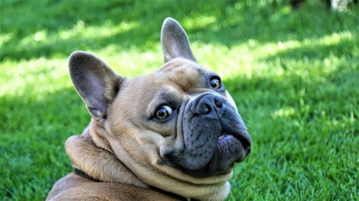 Adottare un Bulldog Francese bouledogue