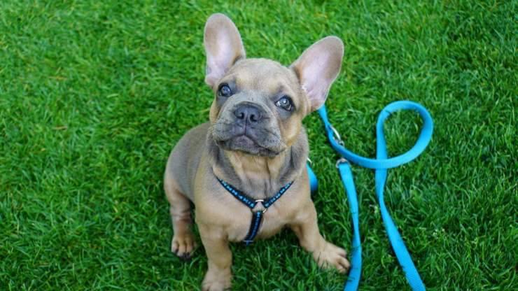 razze cani compatibili bulldog francese