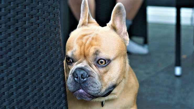 Bulldog francese intimorito (foto Pixabay)
