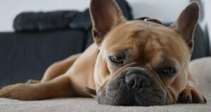 Bulldog Francese alimentazione mangiare dieta