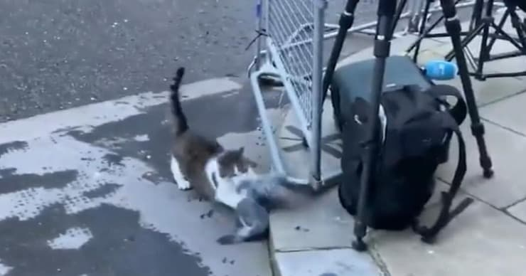 Gatto Larry attacca piccione