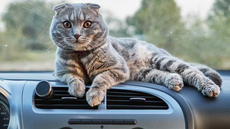 gatti che amano viaggiare