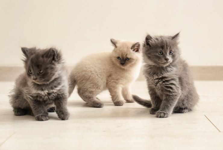 gatti con pelo morbido