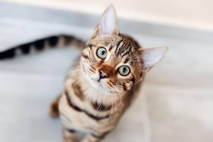 gatti occhi tondi