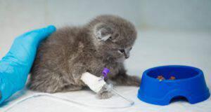trasfusione al gatto